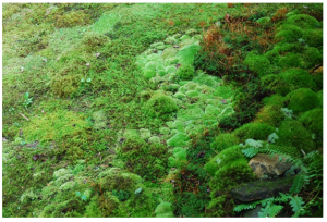 SPHAGNUM MOSS FOR SOLDIER'S WOUND DRESSINGS